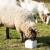 """Zašto je važno običnom solju """"zasoliti"""" dnevni obrok goveda, ovaca, koza i konja"""