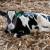 Krava otelila tele teško više od 100 kg - zove se Jumbo