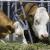 Pri tovu junadi obratiti pažnju na kvalitet obroka i zdravlje životinja