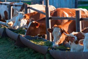 Probavljivost silaže itekako utječe na mliječnost, što donosi proizvod Sill-All?