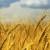 Gnojidba pšenice temelj je odličnih prinosa, što donose formulacije NP i NPK?