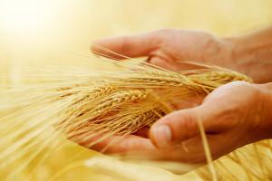 Prijedlog pravilnika o ugovornim odnosima pri otkupu pšenice