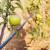 Petrovdan: Deljenje jabuka, pošteda tegleće stoke i paljenje lila