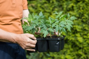 Presađivanje rajčice - savjeti za uspješan uzgoj