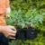 Rasađivanje paradajza: Kaljen rasad - otporna biljka!
