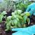Ljekovito sjeme bosiljka može se koristiti za razne namjene