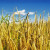Pravilan izbor pokrovnog useva važan je za zaštitu zemljišta
