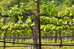 Prihranite vinovu lozu prije cvatnje za intenzivan porast mladica