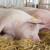 STIPS: Slaba ponuda tovnih svinja zbog rasta cene stočne hrane