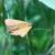 Napada kukuruzni moljac, preventivne mjere su najbolja zaštita