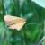 Napada kukuruzni plamenac, preventivne mere su najbolja zaštita