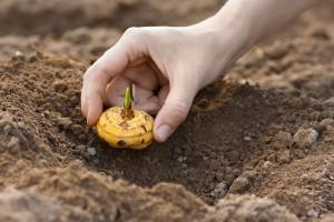 Radovi u maju: Kako da vaša bašta zasija sa gladiolama i dalijama
