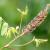 Amorfa ili bagremac: Štetna ili korisna vrsta?