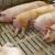 Eutanazirali svinje gušenjem i prženjem na 120 stupnjeva