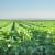 Štetočine u soji i kako ih se rešiti