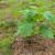 Uzgoj paulovnije - rezidba, zalivanje, cvetanje