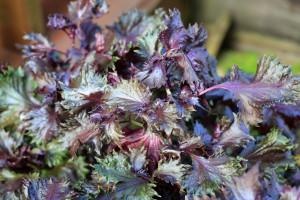 Vrtna kopriva se jednostavno uzgaja u svakom domu ili bašti