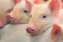 Posjetite predavanja o uzgoju teladi i hranidbi svinja!