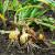 Plamenjača luka: Travanj je pogodan mjesec za pojavu parazita