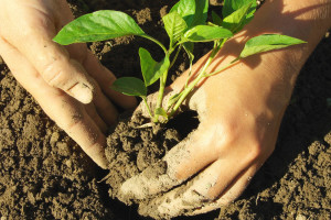 Zeolit zamjenjuje umjetno đubrivo, ali i poboljšava rast stoke