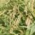 Slakoperka: Iako može smanjiti urod žita i do 50%, dobar je pokazatelj stanja zemljišta