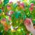 Trips na beskvama i nektarinama - za izvoz preporučuje se pregled zasada
