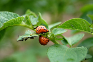 Krompirova zlatica razvila otpornost na više od 50 insekticida - ima li alternative?