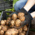Manji rod krompira do 70 odsto - viša cena na pijacama