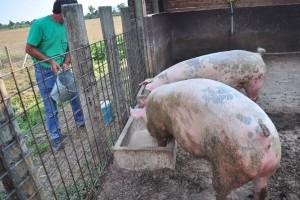 Značaj surutke u ishrani svinja