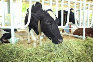 Što je zeleni krmni slijed i zašto je važan u hranidbi muznih krava