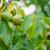 Orahova muha i mraz poharali eko nasade Tomislava Haistora - ubrao šest plodova!