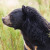Medvedi izlaze iz divljine - u Japanu useve štite mehaničkim vukom