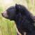Medvjedi izlaze iz divljine - u Japanu usjeve štite mehaničkim vukom