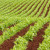 Siju grašak i uljanu repicu: Na žalost stočara - raste potražnja za biljnim proteinima