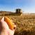 Lošiji rod kukurza smanjiti će i kvalitet junetine i svinjetine?