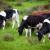 Slobodno pašarenje: Uz Savu uređuju pašnjake za ekološki uzgoj stoke