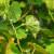 Prevencija pepelnice vinove loze na ekološki način