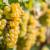 Što radi vinova loza pod stresom?