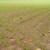 Svega oko 30 odsto pšenice u optimalnoj fazi nicanja