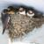 Domaćinstvo Crnojević sa 101 aktivnim gnezdom lasta dobilo tonu kukuruza
