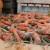 Povrtari u Begeču uspešno proizvode i prodaju šargarepu