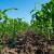 Mikrogranule Umostart u kontaktu sa sjemenom dale tonu/ha više suhog zrna!