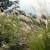 Kako se uzgaja miskantus - energetska trska?