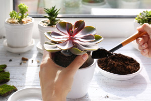 Kako razmnožiti sukulente iz većih i starih listova