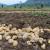 Cijena krumpira pala za 48 posto, znatno niže i cijene svinja