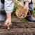 Jesenska sadnja ozimog češnjaka