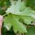 Vinogradari, zaštitite lozu od plamenjače i pepelnice