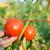 Za nisku otkupnu cenu paradajza Ministarstvo predlaže zajedničku strategiju?