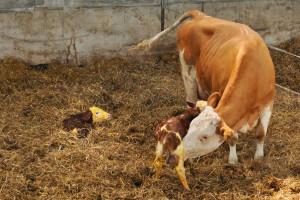 Problemi za vrijeme i poslije telenja krava i kako ih riješiti