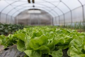 Uzgoj salate u plasteniku - kako je posaditi i zaštititi